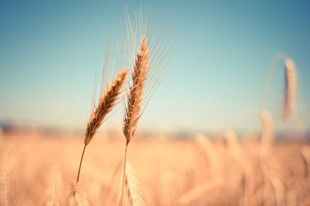 lughnasadh o lammas la festa del grano