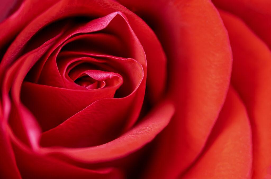 rosa rito della rosa