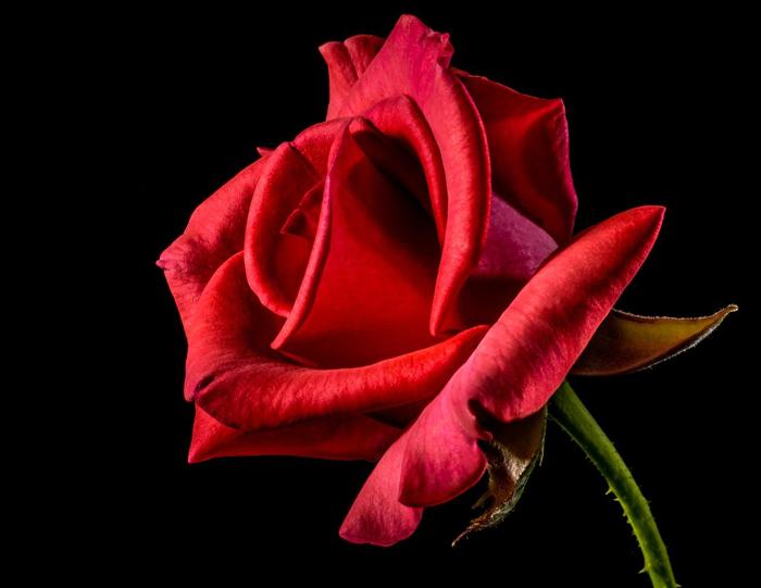 rito della rosa